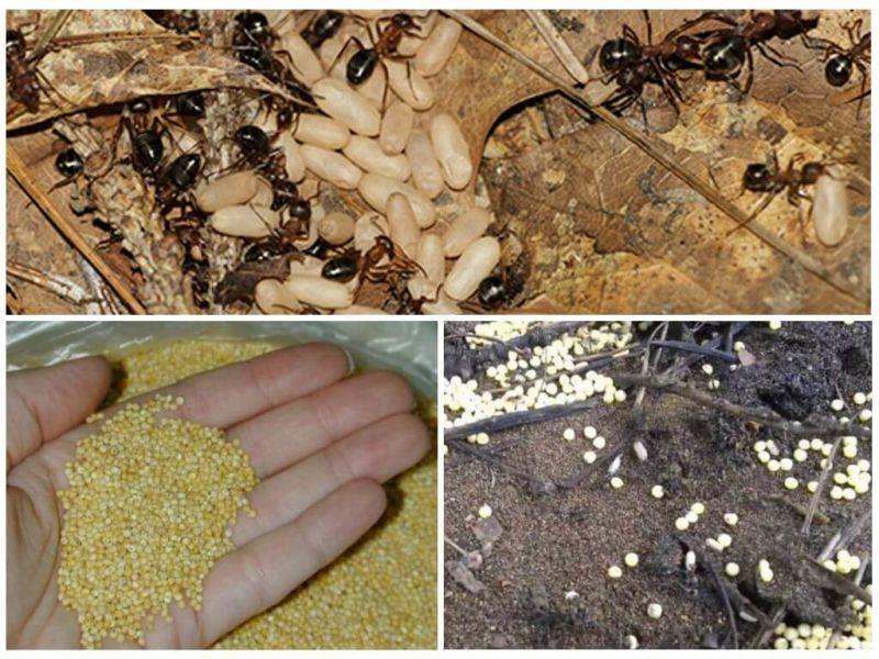 Садовые черные муравьи на участке: как избавиться от больших черных муравьев в огороде на даче