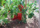 Когда сеять сладкий перец на рассаду в 2019 году по лунному календарю? Выращивание рассады из семян