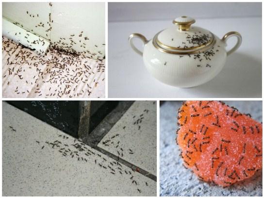 Вывести муравьев из квартиры народными средствами
