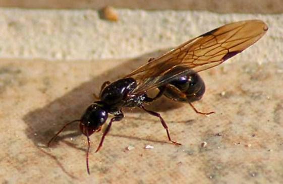 Как истребить муравьев в квартире в домашних